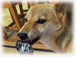 柴犬の福ちゃん