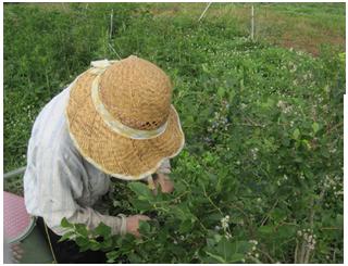 ブルーベリー収穫2