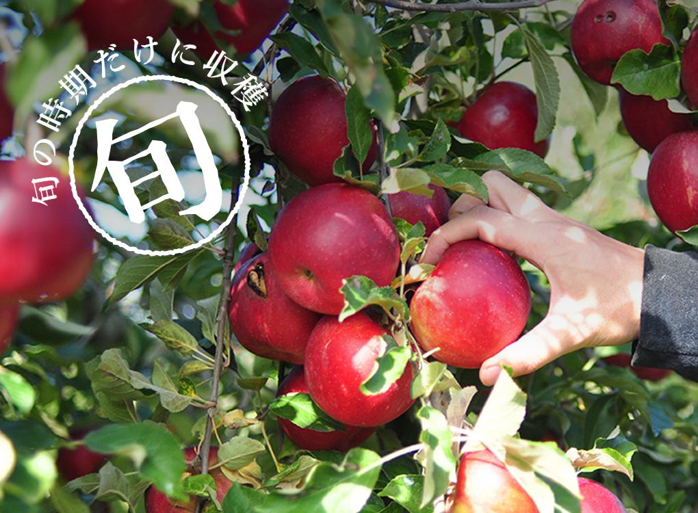 旬の時期だけに収穫 りんご