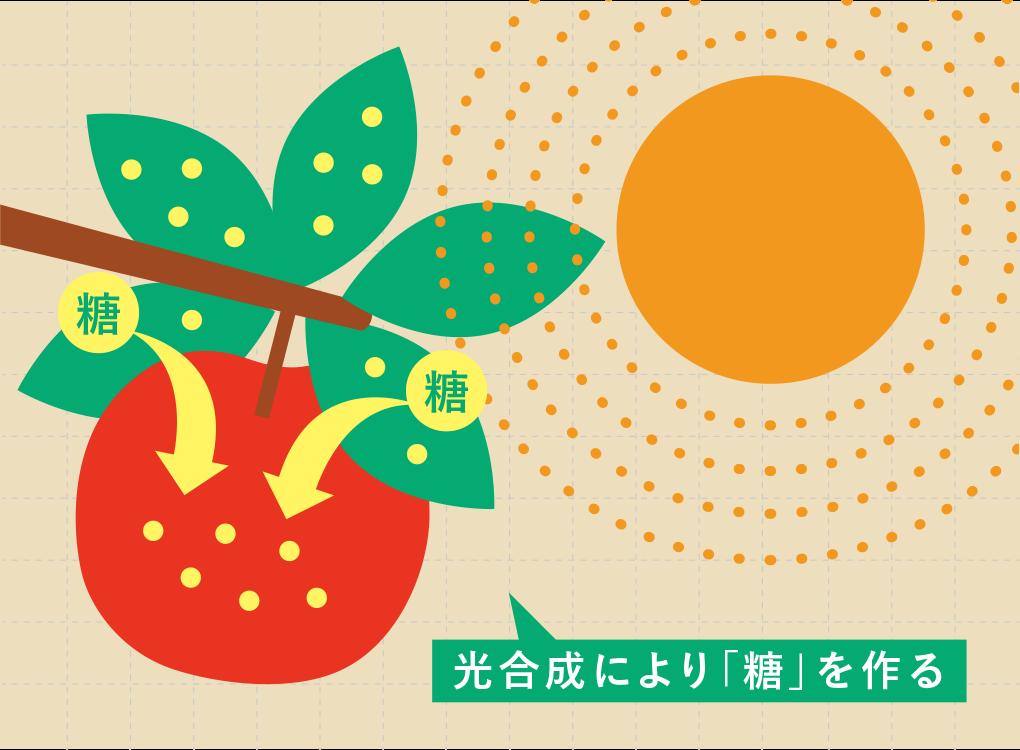 光合成により「糖」を作る りんご
