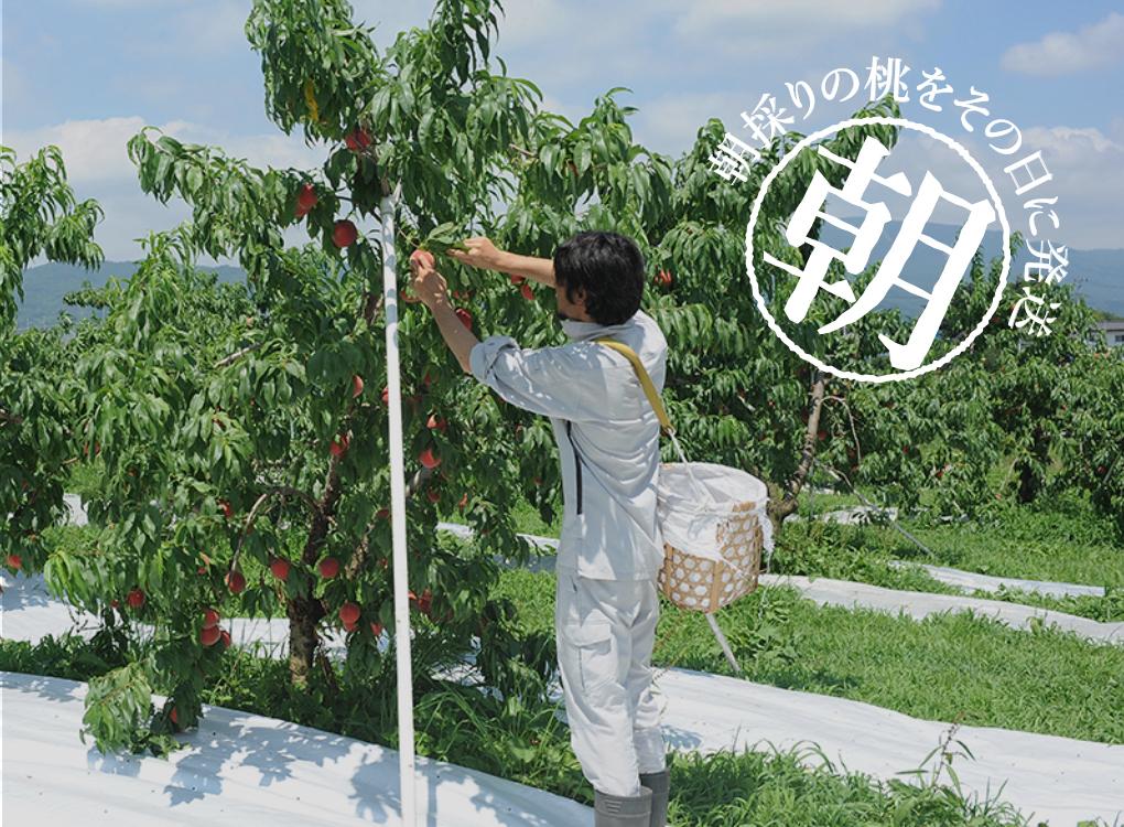 朝採りの桃をその日に発送 桃