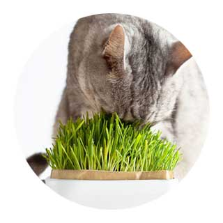 猫草・またたび