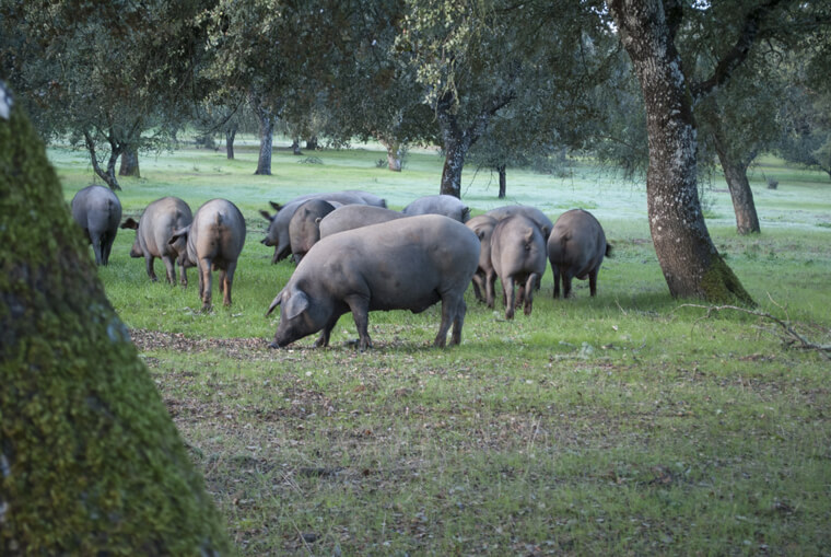 デエサで放牧されてドングリを食べるイベリコ豚