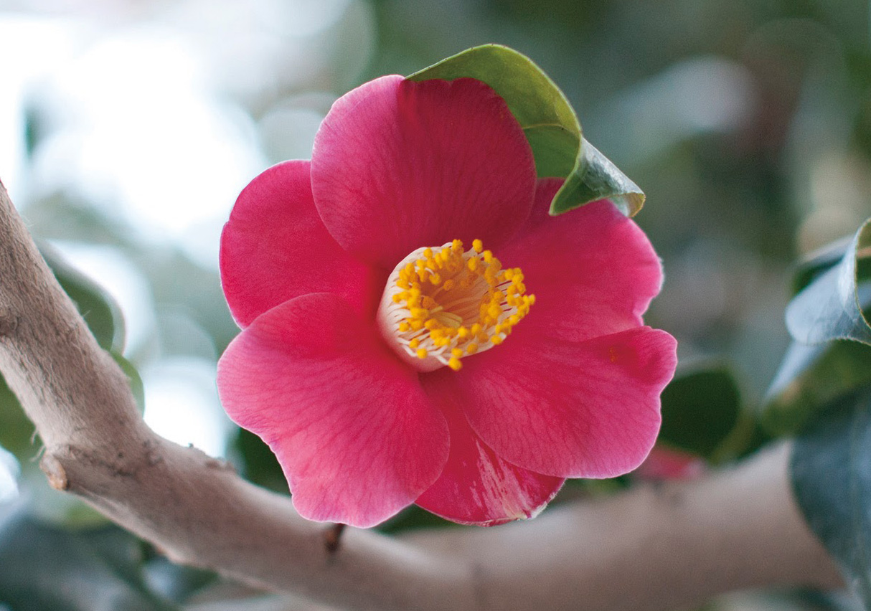 なんて可愛い椿の花